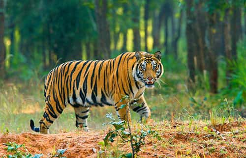 Royal Bengal Tiger (Panthera tigris)