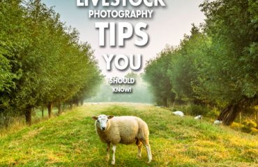 livestock photography tips